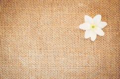 flor del nemorosa de la anémona en un fondo natural de la arpillera Imagen de archivo libre de regalías