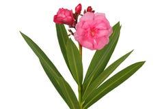 Flor del Nerium en blanco foto de archivo libre de regalías