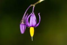 Flor del nightshade agridulce (dulcamara de la solanácea) Imagen de archivo libre de regalías