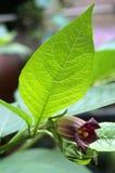 Flor del Nightshade mortal (belladona del Atropa) fotografía de archivo libre de regalías