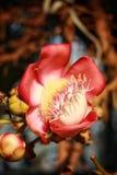 Flor del obús Fotos de archivo libres de regalías