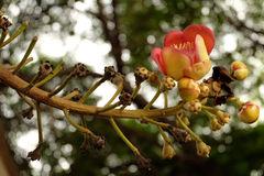 Flor del obús en Wat Putthaisawan fotos de archivo libres de regalías