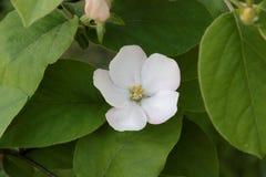 Flor del oblonga del Cydonia Imágenes de archivo libres de regalías
