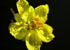 Flor del Ochna de Yentu del primer Fotografía de archivo libre de regalías