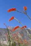 Flor del Ocotillo imagen de archivo