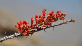 Flor del Ocotillo en la floración Foto de archivo