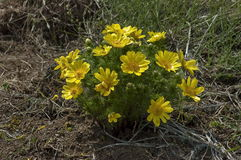 Flor del ojo del faisán (vernalis de Adonis) Fotografía de archivo libre de regalías