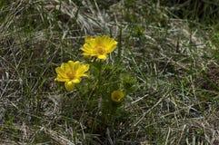 Flor del ojo del faisán (vernalis de Adonis) Fotos de archivo libres de regalías