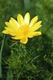 Flor del ojo del ` s del faisán de la primavera Imagen de archivo libre de regalías