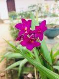 Flor del okid de Naturel en Sri Lanka fotografía de archivo