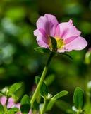 Flor del oleracea de Portulaca Imagen de archivo libre de regalías