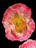 Flor del opio Foto de archivo