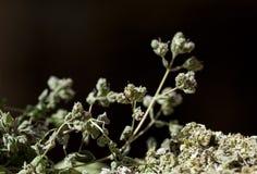 Flor del orégano Fotos de archivo
