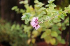 Flor del orégano Foto de archivo