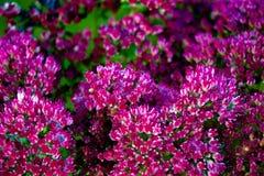 Flor del Orpine Foto de archivo libre de regalías