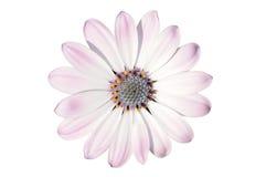 Flor del osteospermum Imagen de archivo libre de regalías
