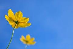 Flor del oyellow de los pares con el cielo azul claro   Fotos de archivo libres de regalías