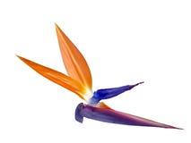 Flor del Pájaro-de-Paraíso Fotografía de archivo