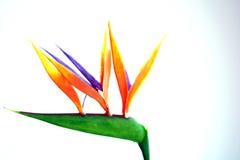 Flor del pájaro del paraíso delante del fondo blanco imágenes de archivo libres de regalías