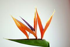 Flor del pájaro del paraíso delante del fondo blanco Imagen de archivo libre de regalías