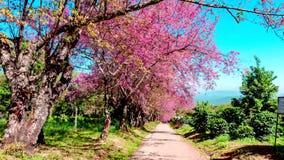 Flor del paisaje de Hyperlapse de la cereza Himalayan salvaje almacen de metraje de vídeo