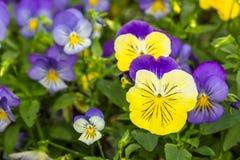 Flor del pancy del color Imagen de archivo libre de regalías