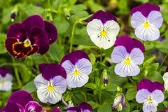 Flor del pancy del color Foto de archivo
