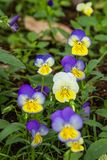 Flor del pancy del color Imagenes de archivo