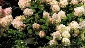 Flor del paniculata de la hortensia almacen de metraje de vídeo