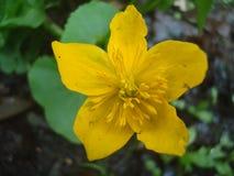 Flor 01 del pato Imagenes de archivo