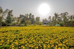 Flor del patula de Tagetes, mercado flotante en los cruces de las siete-maneras (bahía de Nga), Hau Giang de Phung Hiep Fotografía de archivo