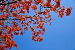 Flor del pavo real Fotografía de archivo