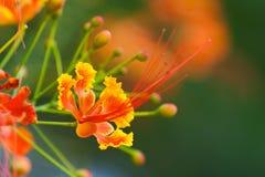 Flor del pavo real Fotografía de archivo libre de regalías