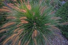 Flor del Pennisetum en puesta del sol Fotografía de archivo