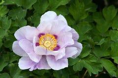 Flor del Peony imagenes de archivo