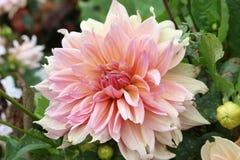 Flor del Peony imágenes de archivo libres de regalías