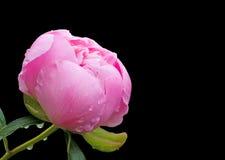 Flor del Peony Imagen de archivo libre de regalías