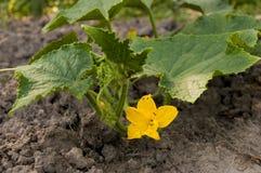 Flor del pepino Fotos de archivo