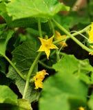 Flor del pepino fotografía de archivo libre de regalías