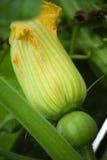 Flor del pepino Fotografía de archivo