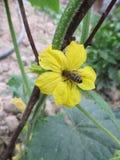 Flor del pepino Foto de archivo