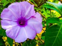 Flor del pes-caprae del Ipomoea, también conocida como Bayhops ésta es correhuela de la playa imagen de archivo