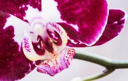Flor del Phalaenopsis de la orquídea Imagen de archivo