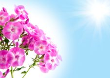 Flor del Phlox Fotografía de archivo