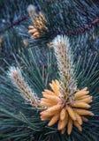 Flor del pino Imágenes de archivo libres de regalías