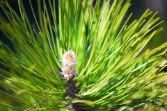 Flor del pino Imagen de archivo libre de regalías