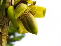 Flor del plátano Fotos de archivo libres de regalías