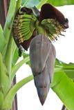 Flor del plátano Fotografía de archivo libre de regalías