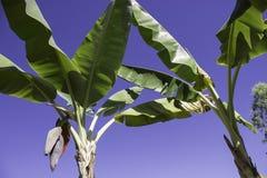 Flor del plátano Imagen de archivo