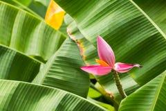 Flor del plátano Imagenes de archivo